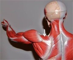 """Muscles of the Shoulder and Arm      Both Sides  Supraspinatus    Abducts arm; stabilizes the head of the humerus in glenoid cavity; one of the """"rotator cuff"""" muscles"""