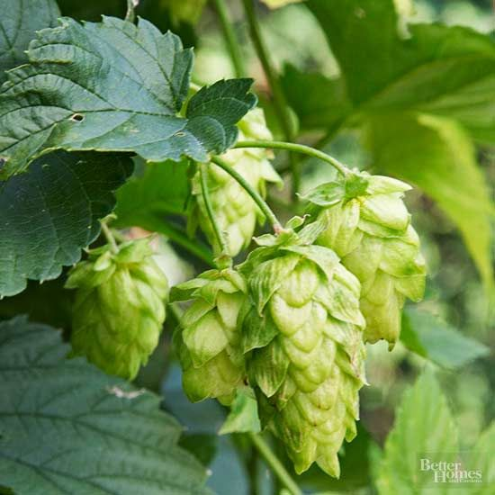 Hops are one of the most beloved plants for carrying the secret ingredient to America's treasured beverage—beer.