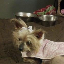 Angel please read... is an adoptable Yorkshire Terrier Yorkie Dog in Oakland City, IN. angel is a senior gal that needed our help, she was found wandering as a stray, even though she cannot see weavin...