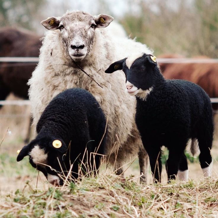 #sheep with #lambs on #grass. #springiscoming