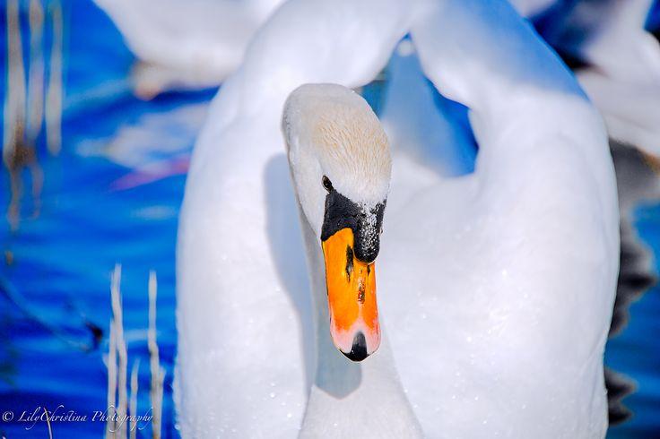 joutsen, swan, laulujoutsen, lintuvalokuva, bird, scandinavian birds, luontokuvaus, eläinkuvaus, animal, eläin, lintu, luontokuvat, nature picture.