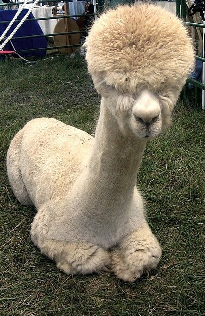 Here Are 12 Shaved Alpacas That Will Change The Way You Look At The World