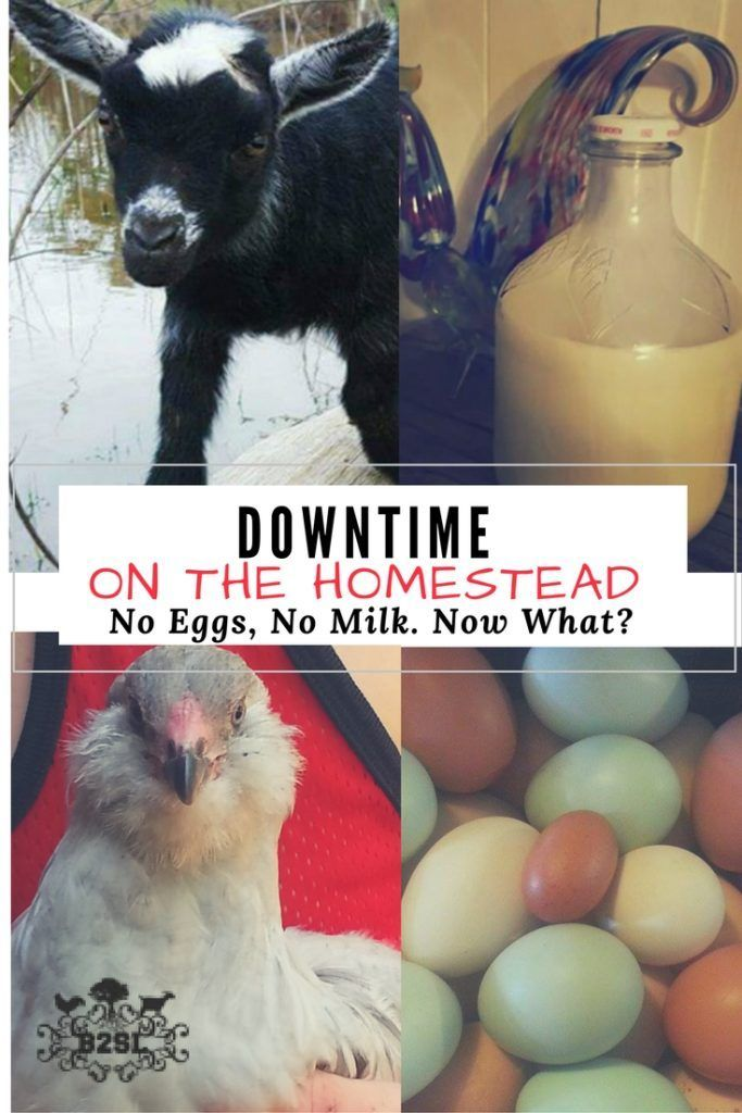 Downtime on The Homestead. No Eggs, No Milk. Now What? How to... Avoid Downtime Plan Ahead Cook with substitutions. When we dream of our homestead, we picture an unlimited supply of milk and eggs to cook with. Right? We become homesteaders so we can live a more self-sufficient lifestyle. To grow our own! To raise our own! To produce our basic needs! That isn't exactly the reality. The fact is, there are down times on the homestead!