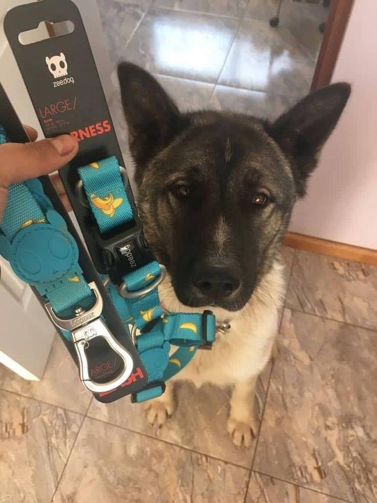 Muchos ❤️ y 👍 para el hermoso Balu 🐶, ganador de este súper arnés y correa ZEE DOG, que su mamá Karla Aspee obtuvo para él en nuestro #ConcursoDieciochero en facebook bestforpets.cl