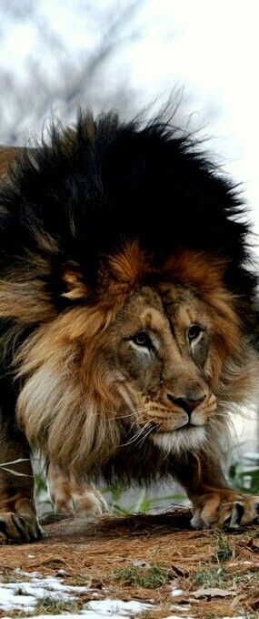 Wow! I Love this Lion with the full dark mane. He is so beautiful! What an…