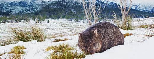 Common wombat, Tasmania, Australia