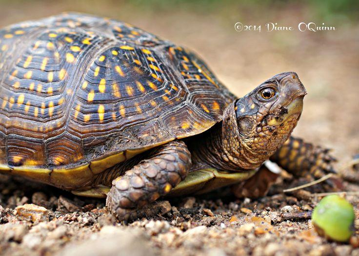 Ornate Box Turtle In My Path