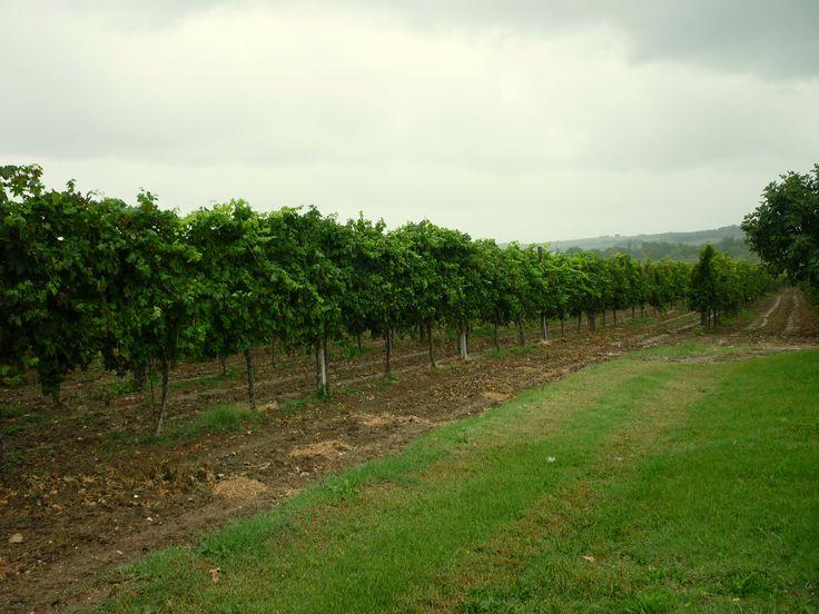 #Vigne, #vineyards #wine #vino #campagna #countryside
