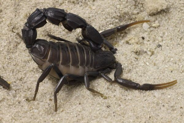 10 Escorpiões mais Venenosos do Mundo