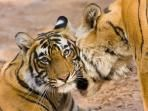 Tiger Safari Travel Guide, by Responsible Travel: The majority of tiger safaris take place in India in their national parks and tiger reserves, all now protected since 1971 when the new prime minister, Indira Gandhi went on a mission to stop the devastating demise of tigers by setting up Project Tiger, which still exists today, but is more commonly known as the National Tiger Conservation Authority.  (Pictured: Bandhavgarh tiger and wildlife safari, India)