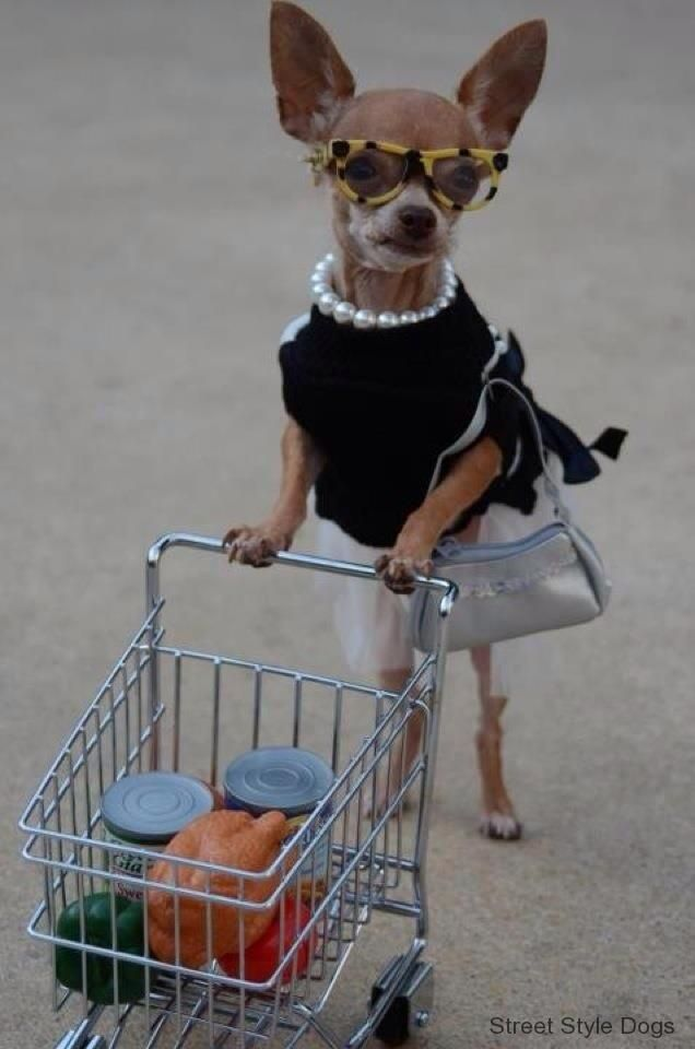Chihuahua Mystery Shopper No One Will Get Suspicious