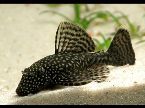 Danio Rerio Poisson Zebre Poisson Aquarium Poisson Animaux