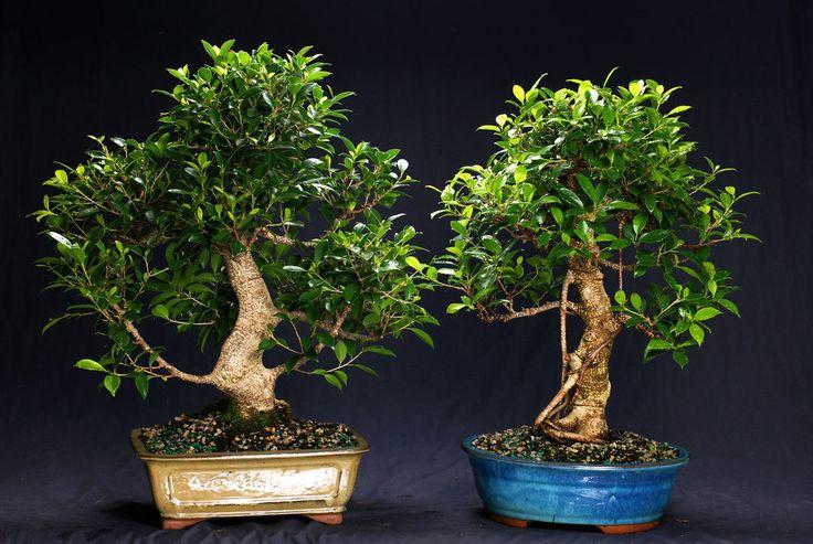 Golden Gate Ficus Indoor Bonsai Tree Tropical Import Bonsa