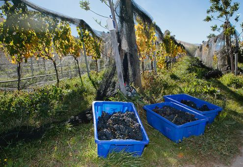 - Burn Cottage Vineyard - The Grapes that produce the wines!