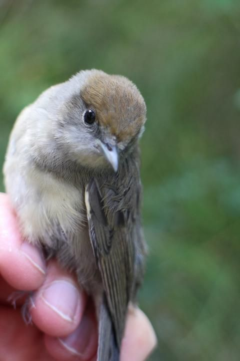 Blackcap (Sylvia atricapilla) Young bird (juvenile) captured and ringed.