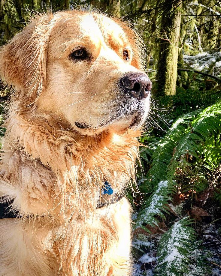 "🐾 Lewis The Golden 🐾 on Instagram: """"In every walk with nature one rec…"