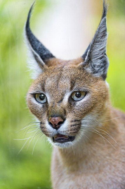 Very pretty caracal by Tambako the Jaguar on Flickr.