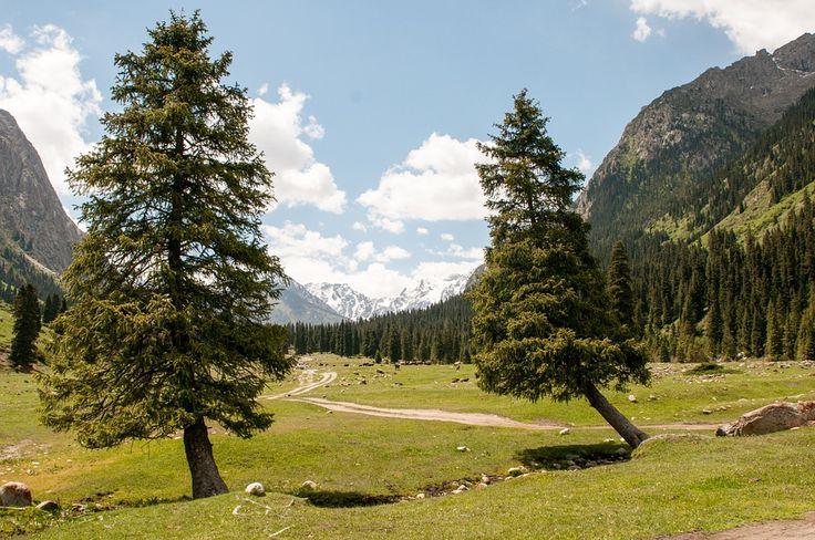 Smrk, Strom, Hory, Obloha, Kyrgyzstán, Příroda, Les