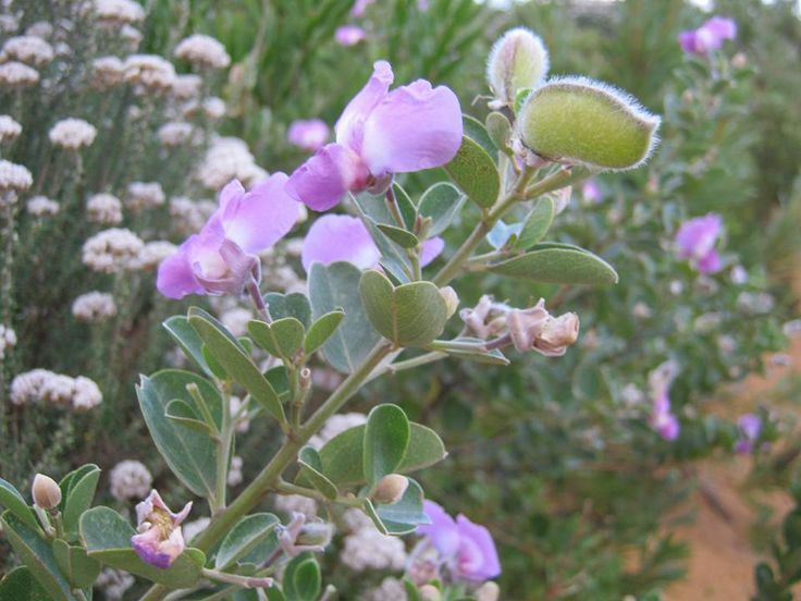 Wild sweetpea- our fynbos garden