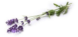 Image result for lavender sprig