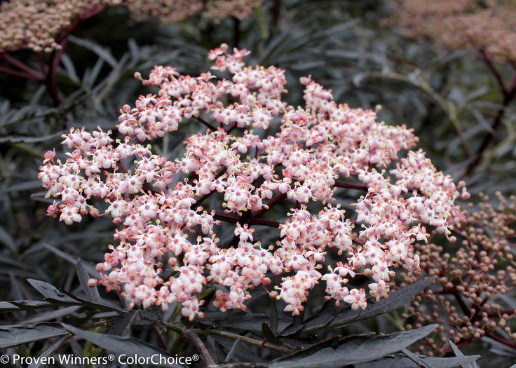 Black Lace™ - Elderberry - Sambucus nigra