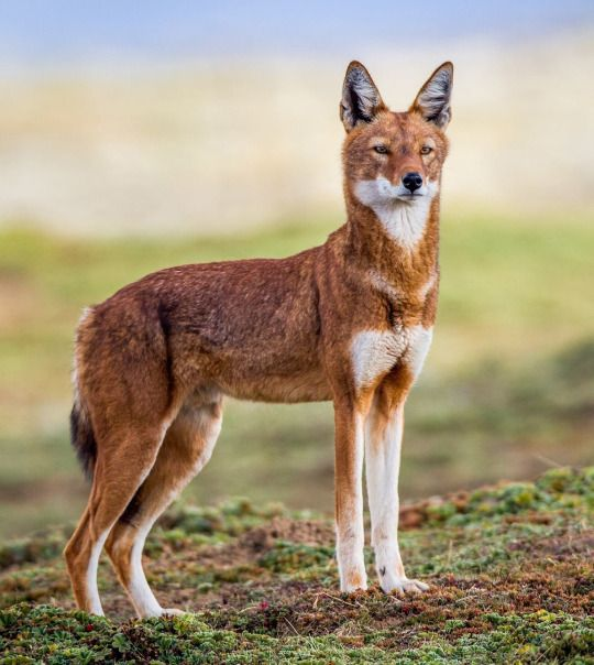 Ethiopian wolf! Wow, look at that! Interestingly, it's the same cat as their Abyssinian cat. To blend in with the landscape, I reckon.