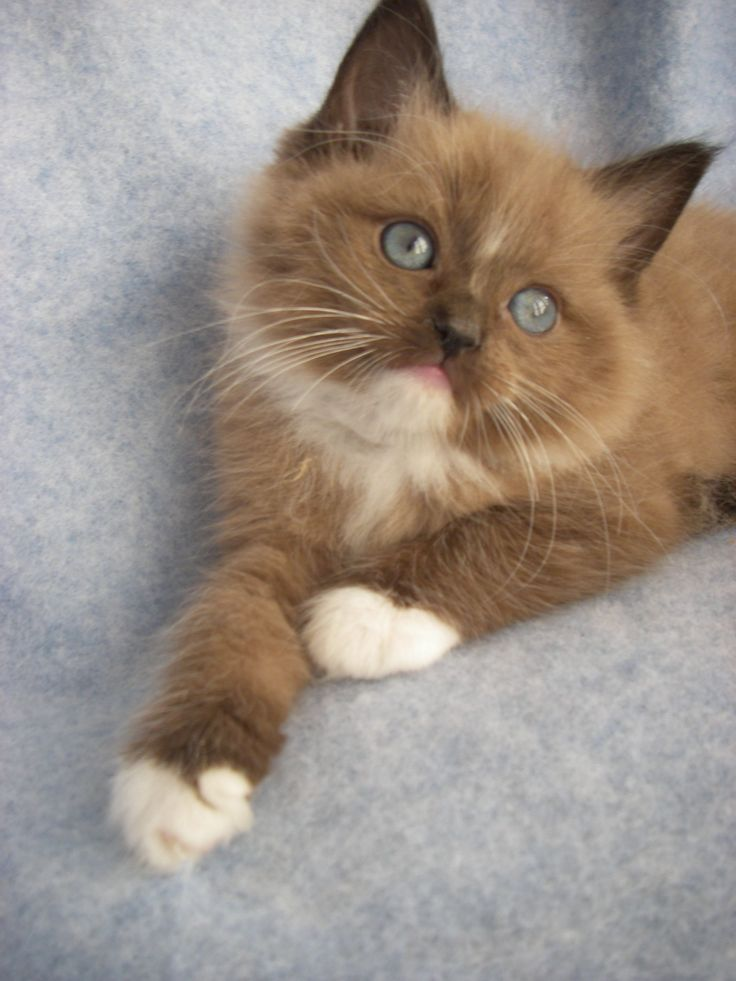 Ragdoll - Most Affectionate Cat Breeds #ragdollcatcolors