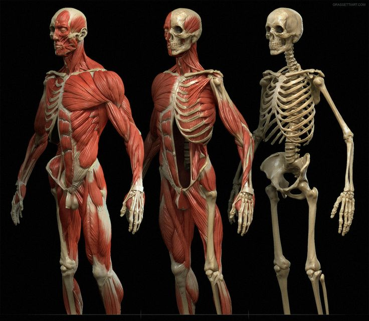 203 best drawing tutorials: bones & muscles - human anatomy study, Muscles