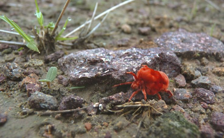 Come monsoon and a lot comes alive in the desert. One of them is the Velvet Mite.