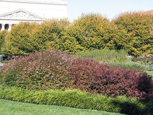 Abelia grandiflora and monkey grass hedge garden for Privacy grass