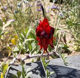 Sturt Desert Pea. Northern Territory Australia - Download From Over 55 Million High Quality Stock Photos, Images, Vectors. Sign up for FREE today. Image: 8845294