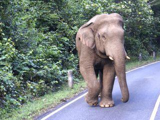 Jungle trek en Thailande, elephant