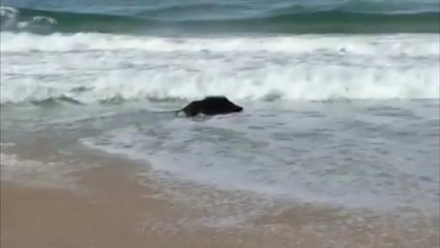 Si chiude la stagione della caccia e questo cinghiale sembra quasi voler festeggiare tuffandosi in mare dalla spiaggia della Bidola, all'Elba. Il video è stato pubblicato su Facebook da Maurizio Morbidelli