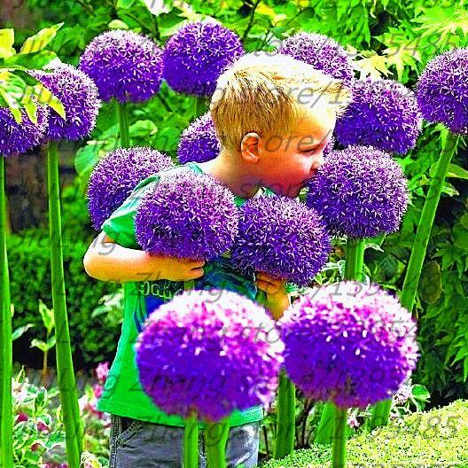 100pcs/bag Giant Allium Giganteum Beautiful Flower Seeds Garden Plant The  Rare Flower Seeds For