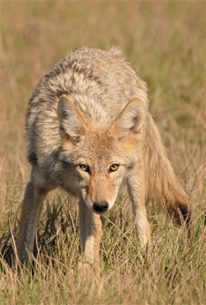 Coyote and prairie dog can be a bane to agriculture producers, but they are also part of a group of animals that provide extended hunting opportunities in South Dakota.