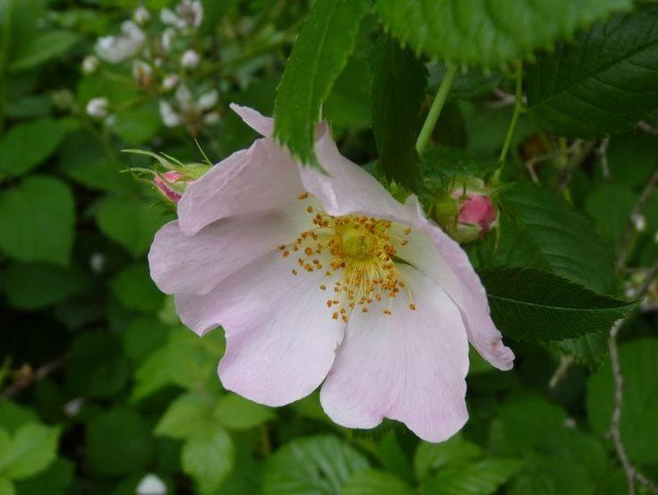 Synonymes: rosier des chiens, rosier sauvage, rosier des bois, rose églantine, cynorrhodon, poil-à-gratter, gratte-cul. Rosier des chiens. Comme c'est peu élégant eu égard à cet arbuste déli…