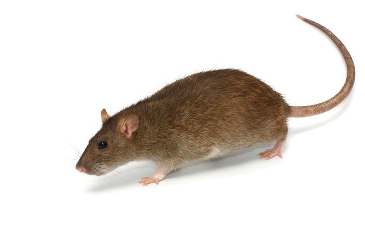 Peter pippeling was een faunaat* en kon in een rat veranderen.Hij was trouwens…
