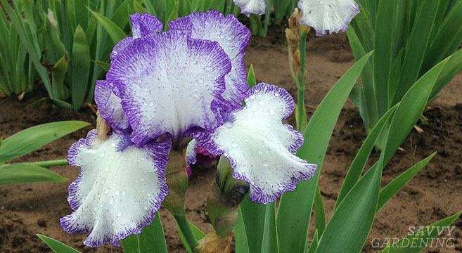 How To Divide Irises And Replant Them In The Garden Iris Flowers Garden Growing Irises Replant