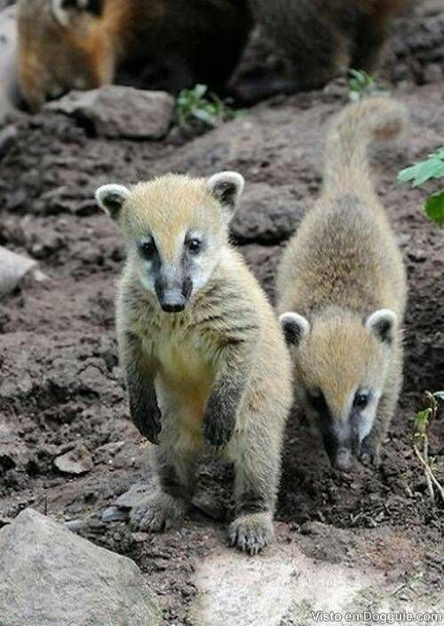 The coati, genera Nasua and Nasuella, also known as the Coati-Mundi or coatimundi, hog-nosed coon, Mexican tejón, cholugo, or moncún, Guatemalan and Costa Rican pizote, Colombian cusumbo, and other