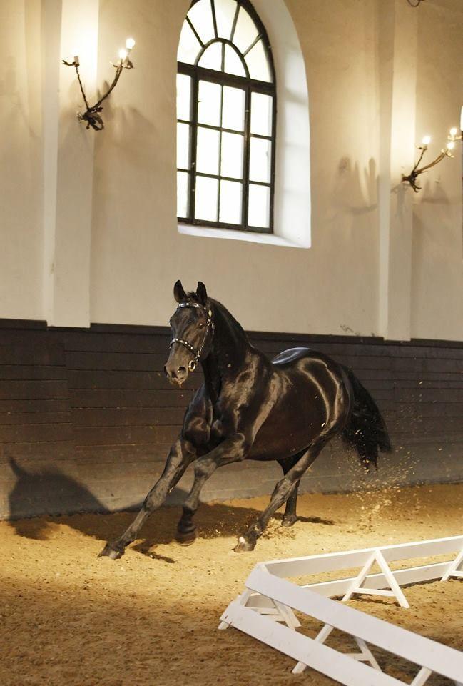 Nonius horse. Fotó: Anett Somogyvári