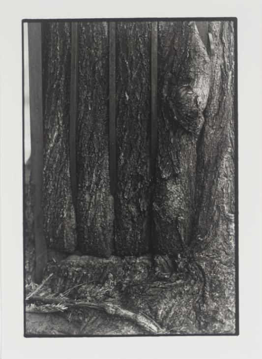 Zoe Leonard 'Tree + Fence, 6th St. (Close-up)', 1998, printed 1999 © Courtesy the artist and Galerie Gisela Capitain, Cologne