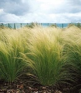 Ornamental Grass - Stipa Tenuissima Pony Tails - love the way this moves