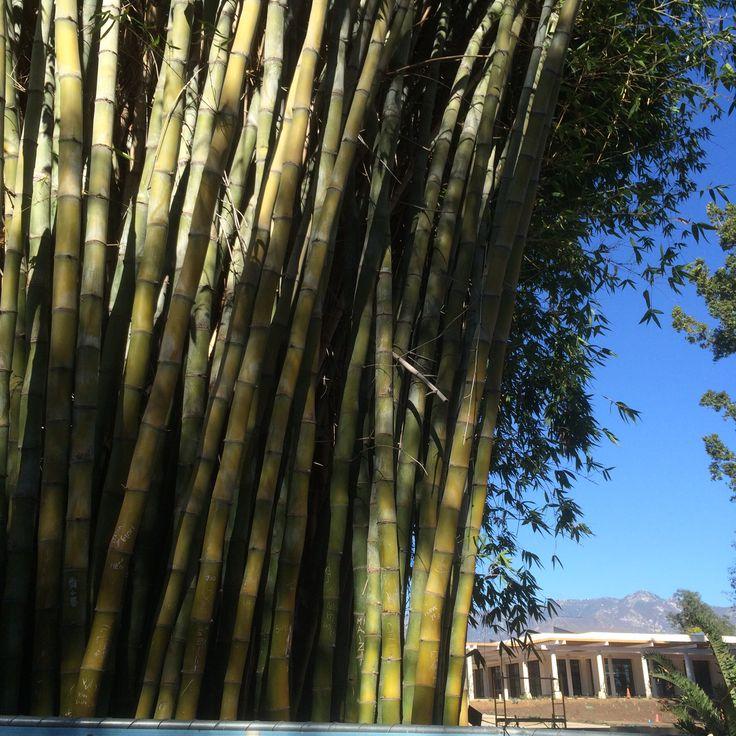 Bamboo at The Huntingdon Library, LA area