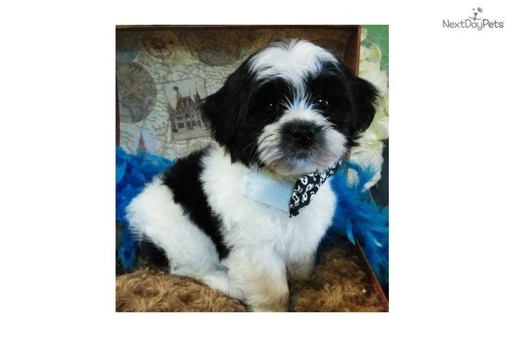 Teddy bear puppies for sale jacksonville florida
