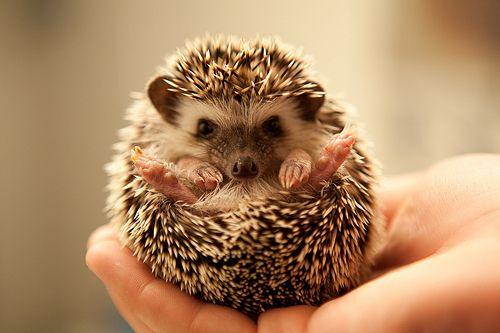 Hedgehog yoga