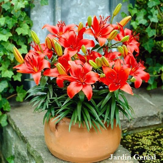 Jardin Génial – Google+ Изящная лилия - жемчужина Вашего сада  Лилии (Lilium) принадлежат  к семейству Лилейных. В природе  насчитывается более 100 видов  лилий, а центром происхождения  лилий считается Китай. Виды лилий:  даурская, длинноцветковая, малая. Международная классификация  сгруппировала все гибридные  лилии в 9 разделов: Мартагон,  Азиатские, Кандидум, Длинноцветковые,  Американские, Трубчатые, Восточные,  Орлеанские и Видовые лилии.