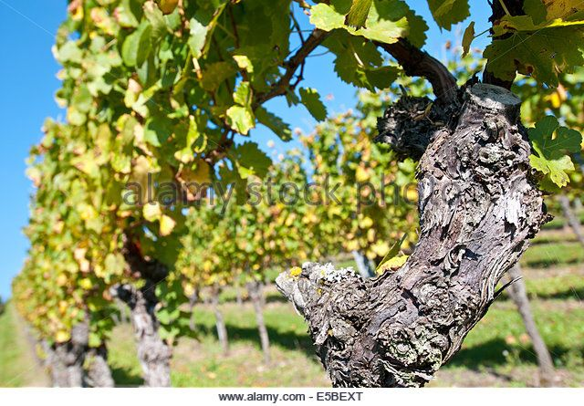 Gnarrled old vine in sunny vineyard - Stock Image