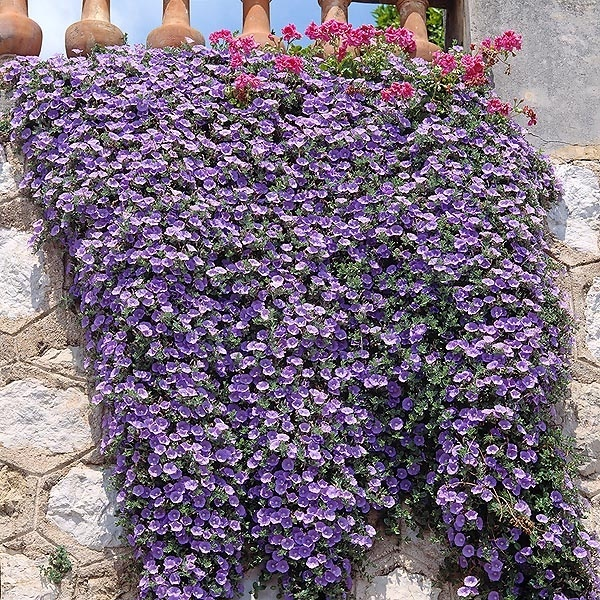 best to promote your business www.kampayseo.comConvolvulus Sabatius, Gardens Ideas, Landscapes Ideas, Creative Gardens, Cake Ideas, Convolvulus Spookyspittl, Gardens Parties, Activities Ideas, Convolvulus Http Bit Ly Hqvjna