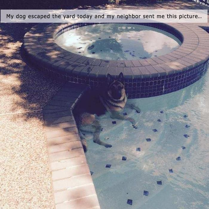 I think your #shepherd might be telling you its time for a #pool! #germanshepherd