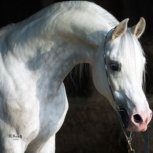 Image result for roman nose horse